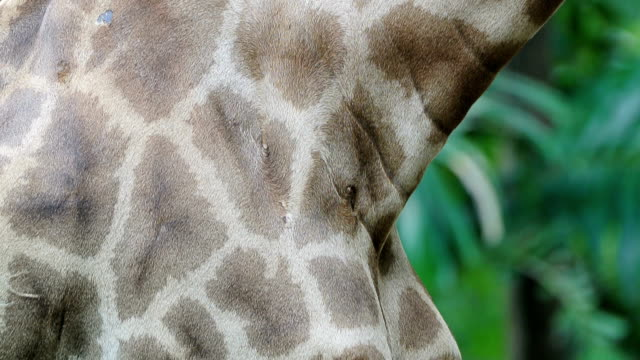 Neck of Giraffe video