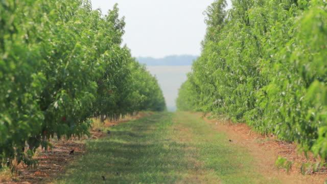 HD Nectarine green trees garden video