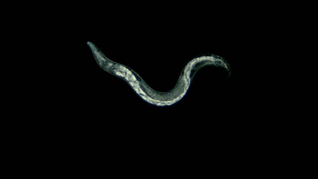 nematode worm under a microscope, is a parasite
