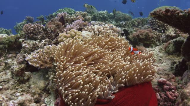 """vídeos y material grabado en eventos de stock de nemo peces anémonas o """"amphiprion ocellaris"""" escondido en los tentáculos de una anémona - palaos"""