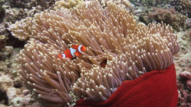 Nemo anemone fish or