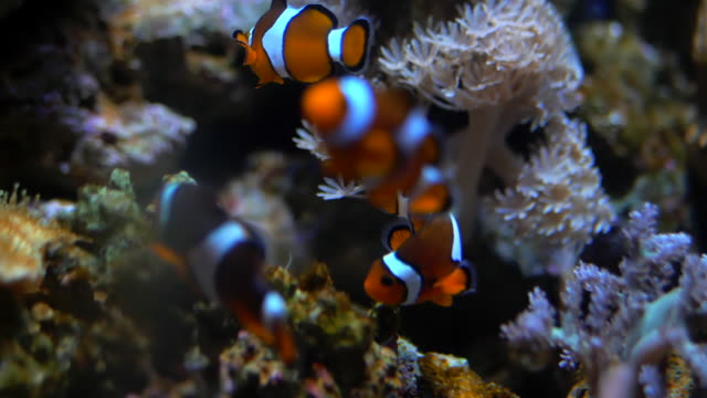 Nemo clown fish in the anemone on the colorful healthy coral reef. Anemonefish nemo couple swimming underwater. Scuba diving coral reef scene with nemo and anemone Nemo clown fish in the anemone on the colorful healthy coral reef. Anemonefish nemo couple swimming underwater. Scuba diving coral reef scene with nemo and anemone. coral cnidarian stock videos & royalty-free footage