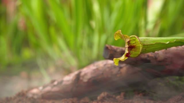 nepenthes köttätande växter i morgondimman i regnskogen. - utdöd bildbanksvideor och videomaterial från bakom kulisserna