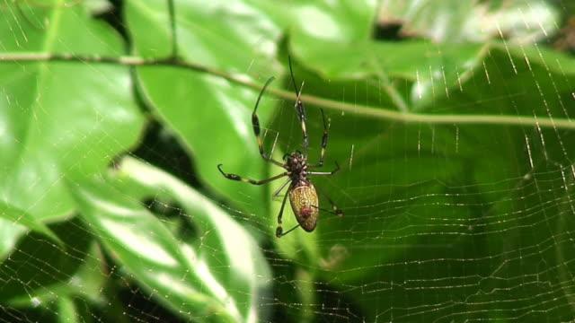 nephila antipodiana - costa rica - spindelväv bildbanksvideor och videomaterial från bakom kulisserna
