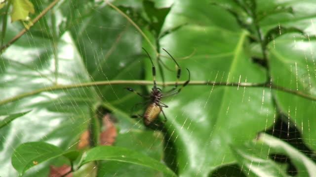 nephila antipodiana working - costa rica - spindelväv bildbanksvideor och videomaterial från bakom kulisserna