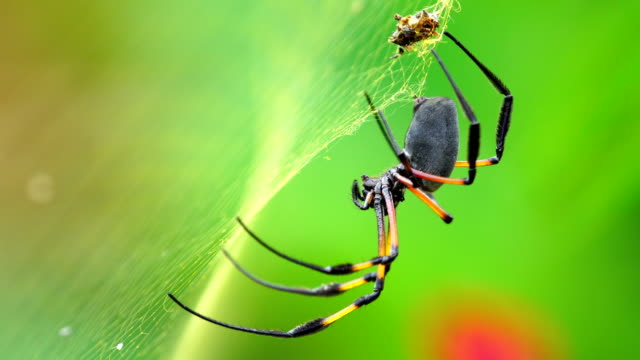 Nephila inaurata - Reunion Island video