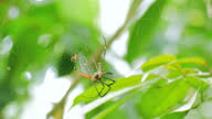 istock Nephila Maculata big spider is eating its prey on the web 1311199539