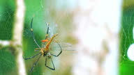 istock Nephila Maculata big spider is eating its prey on the web 1311200123
