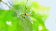 istock Nephila Maculata big spider is eating its prey on the web 1311200172