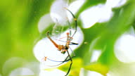istock Nephila Maculata big spider is eating its prey on the web 1311200261