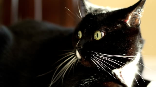 Nervous Black and White Cat video