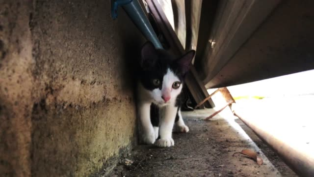 Nervous black and white street cat  hiding behind shelter Nervous black and white street cat kitten hiding behind shelter and exploring walk toward camera hiding stock videos & royalty-free footage