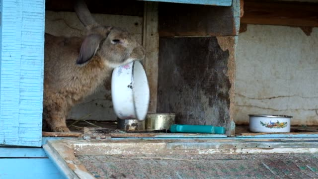 Nervous rabbit is dissatisfied with his bowl for eating video
