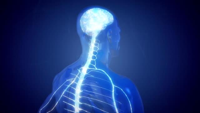 vídeos y material grabado en eventos de stock de sistema nervioso central - columna vertebral humana