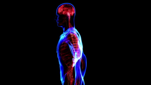 Nervous system All human body systems. Transition body - nervous system - body. Loop cerebellum stock videos & royalty-free footage