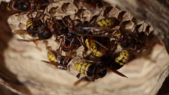 ein nest von einer papier-wespe. nützliche räuberische garten insekt, die schädlinge zerstört - hornisse stock-videos und b-roll-filmmaterial
