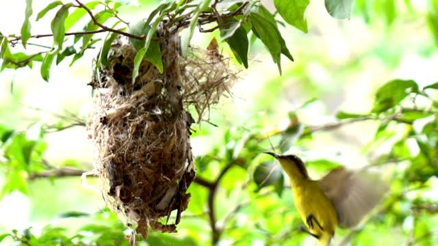 nest der olive-backed sunbird - nest stock-videos und b-roll-filmmaterial