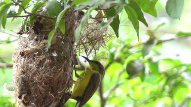 Nest of olive-backed sunbird video