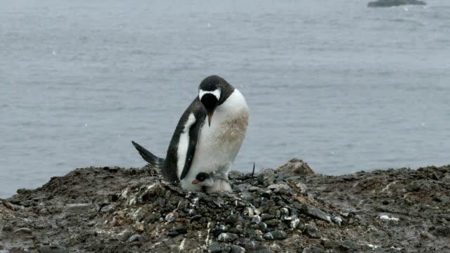verschachtelung gentoo penguin ekstatischen aufruf küken aitcho insel süd-shetland-inseln der antarktis - nest stock-videos und b-roll-filmmaterial