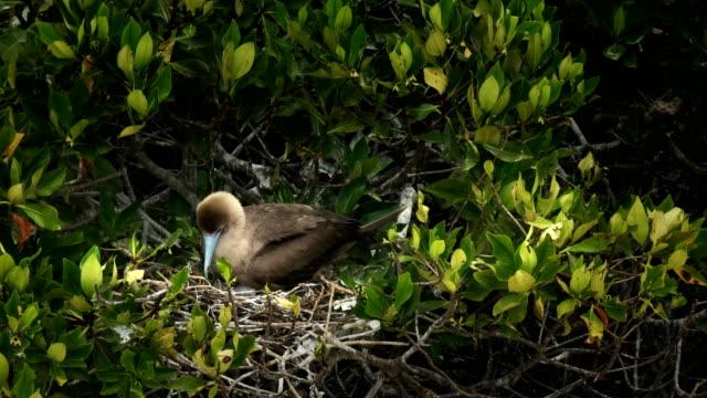 vídeos de stock, filmes e b-roll de aninhamento vermelhos maminha na ilha genovesa nas galápagos - ilha genovesa