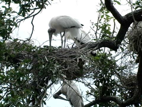 nesting woodstorks und chicks - aquarium oder zoo stock-videos und b-roll-filmmaterial