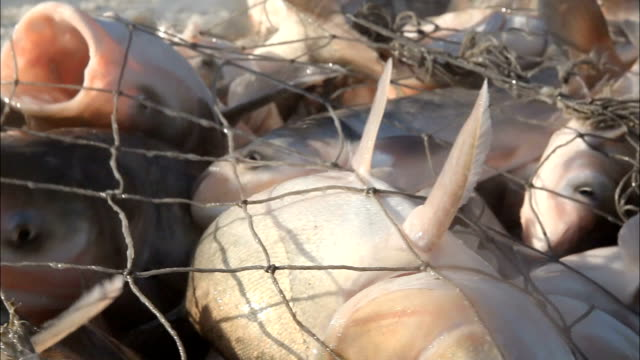 net fish video