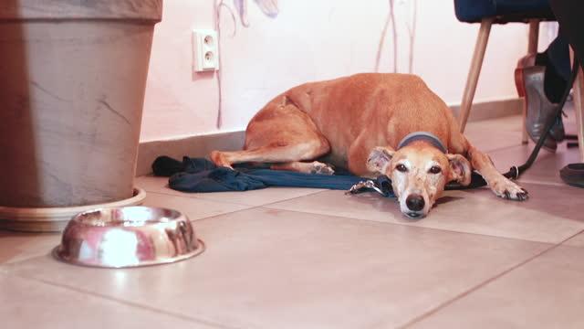 kısırlaştırma erkek köpeklerde hiperseksüelliğin neden olduğu sorunları azaltır. - kısırlaştırma stok videoları ve detay görüntü çekimi