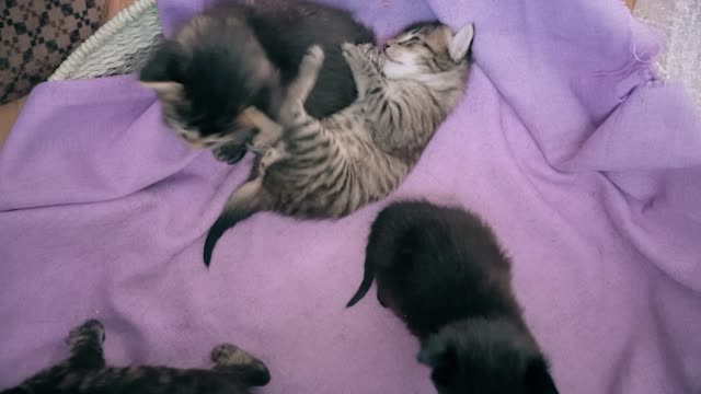 new born baby kittens playing together in a cat basket - gatto soriano video stock e b–roll