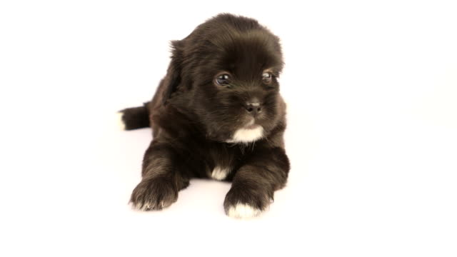 New Born Shih Tzu Puppy On A White Background Stock Video More