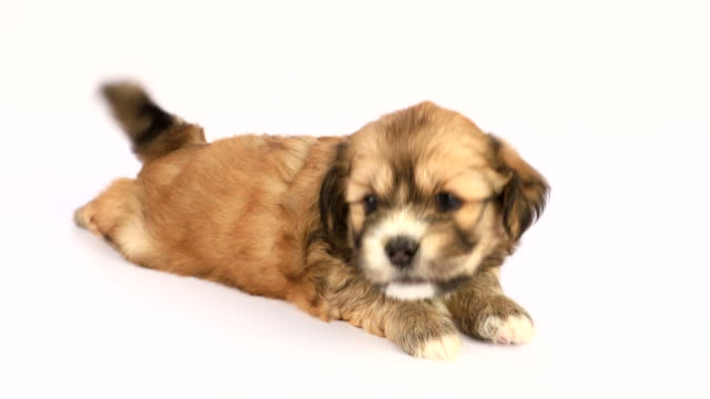 New born Shih Tzu puppy on a white background In a studio environment and in ultra high 4k definition mode, a young four-week old brown puppy sits by herself. Of purebred Shih Tzu origin, she looks curious and happy, with her tail moving as a sign go happiness. purebred dog stock videos & royalty-free footage