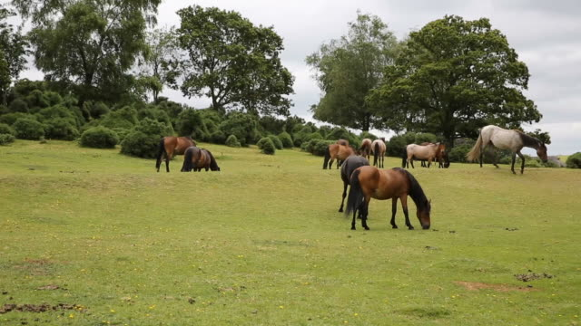 New Forest ponies Lyndhurst Hampshire England UK moving around video