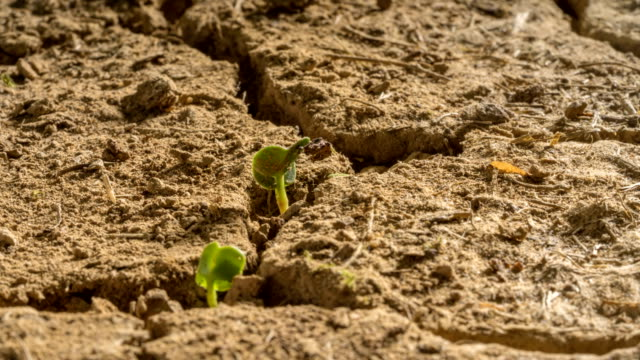 New Life Desert Drought Plants Grow Time Lapse New life seeds emerge from drought conditions in the desert mud cracks. dry stock videos & royalty-free footage