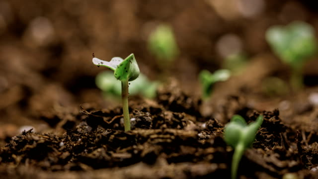 vídeos de stock e filmes b-roll de new life growing seed time-lapse - macro