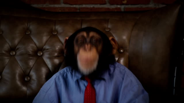 new monkey crazy office boss fooling around - primate video stock e b–roll