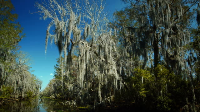 New Orleans, March 2014: A Branch filled with spanish moss in the Bayou video
