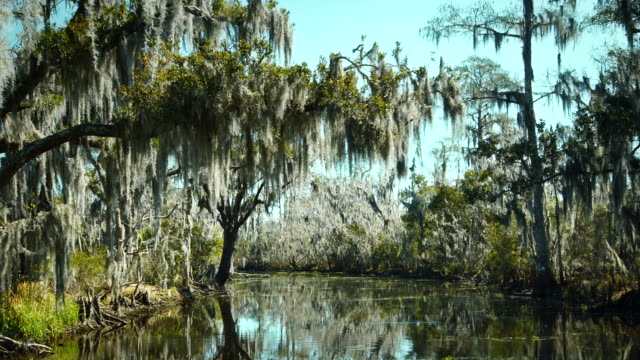 stockvideo's en b-roll-footage met new orleans, march 2014: a tree in the bayou covered in spanish moss - broek