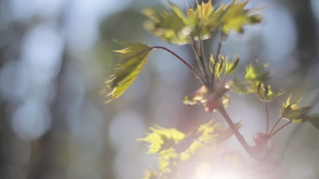 New spring maple leaves close up camera tracking warm sunlight defocused green forest background. New fresh woods backlit sun frame lens flare. Nature protection concept video