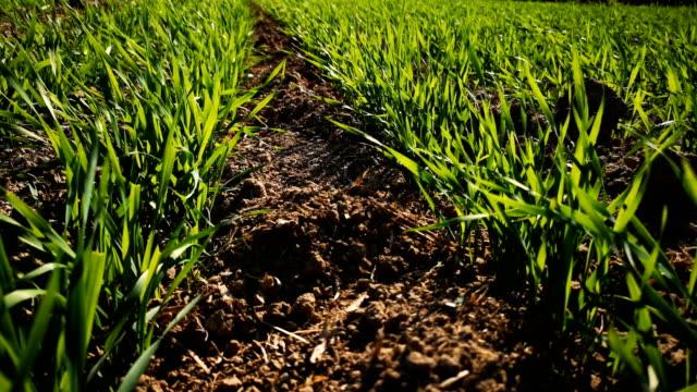 New wheat plants growing in field