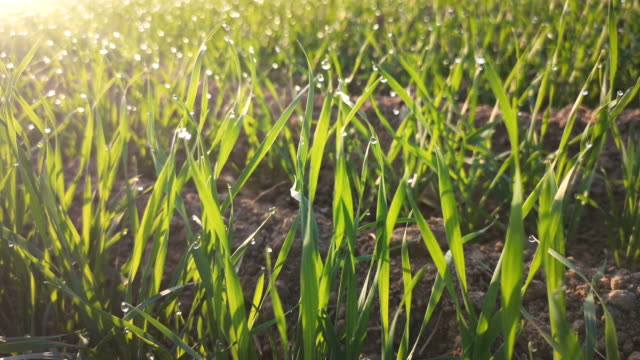 New wheat plants growing in the soil
