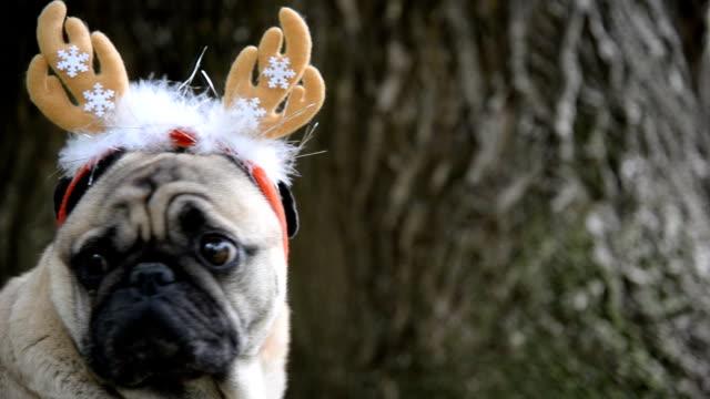 new year. a dog of the pug breed in a new-year suit. - poroże filmów i materiałów b-roll