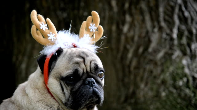 new year. a dog of the pug breed in a new-year suit. - reindeer stock videos and b-roll footage