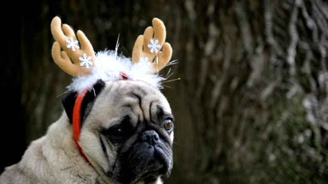 Neues Jahr. Ein Hund der Rasse Mops in einem Neujahr Anzug. – Video