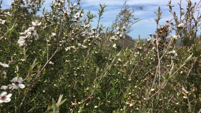New Zealand Native Leptospermum Scoparium (Manuka) Flower
