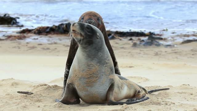 nowa zelandia lwy morskie gody taniec - zachowanie zwierzęcia filmów i materiałów b-roll