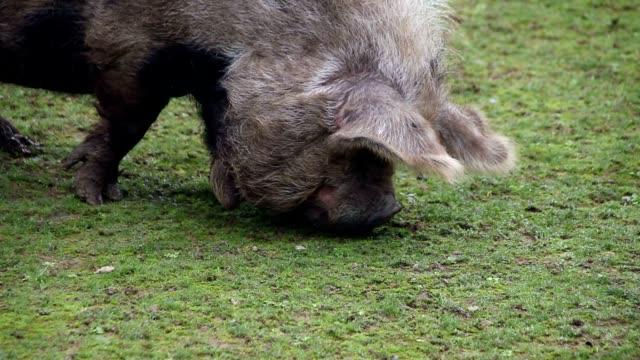 New Zeland pig video