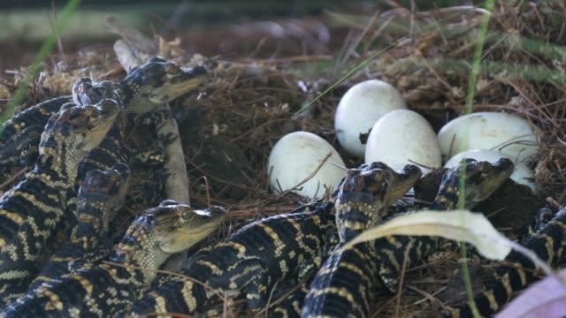 Newborn alligator near the egg laying in the nest