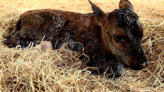 vidéos et rushes de nouveau-né en vachette - veau