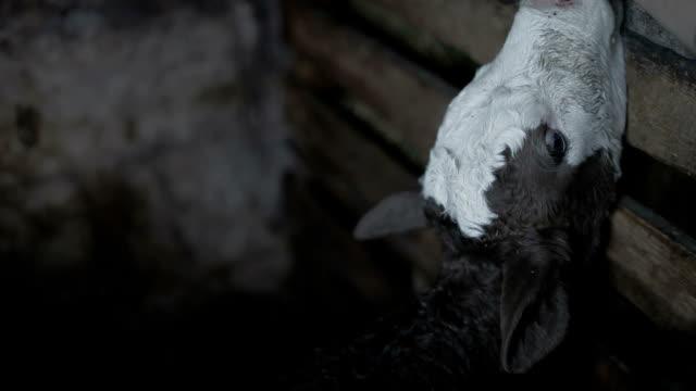 Newborn Cow Calf video