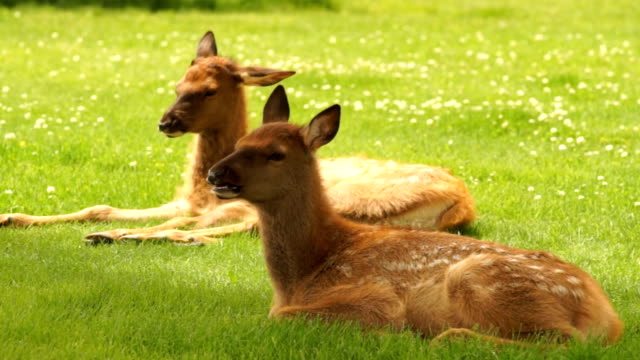 neugeborenen elch fawn kalb jährling wild animal wildlife - elch stock-videos und b-roll-filmmaterial