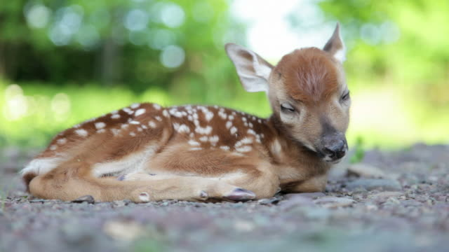 Newborn Fawn, Baby White-tailed Deer Sleeping in Woods (Video) 2-day old fawn with spots and his eyes still stuck shut, in a clearing in the woods. In this video he stretches, tries to open his eyes, spreads his little toes, then settles down for more sleep in the sweetest position. Late day sun sparkles through the woods in the background. You can see tiny bumps where his antlers will eventually come in. White-tailed deer (Odocoileus virginianus) resting stock videos & royalty-free footage